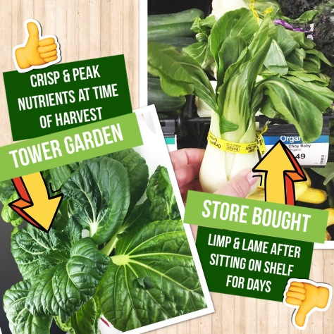 Tower Garden vs. Store Bought Bok Choy