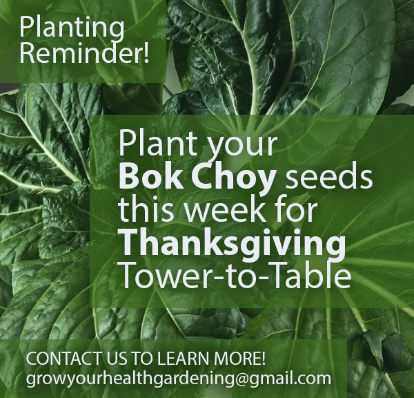 Plant your Bok Choy Seeds Now for Thanksgiving Meals