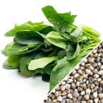 Spinach_-_Winter_Giant_seeds_1024x1024