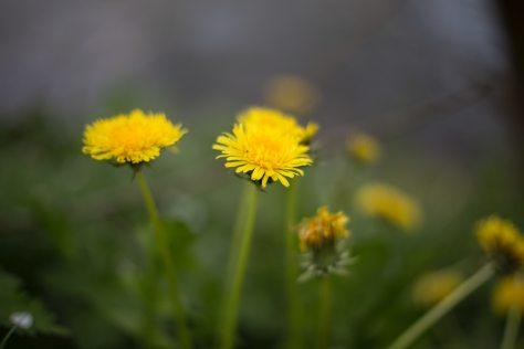 dandelion-flowers