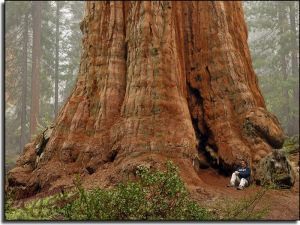 giant-redwoods