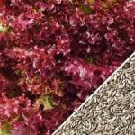 Lettuce-Salad-Bowl-Red-SN