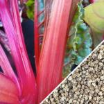 Swiss-Chard-Hot-Pink-seed-SN