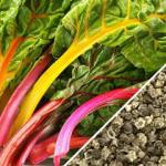 Swiss-Chard-Rainbow-Mix-SN